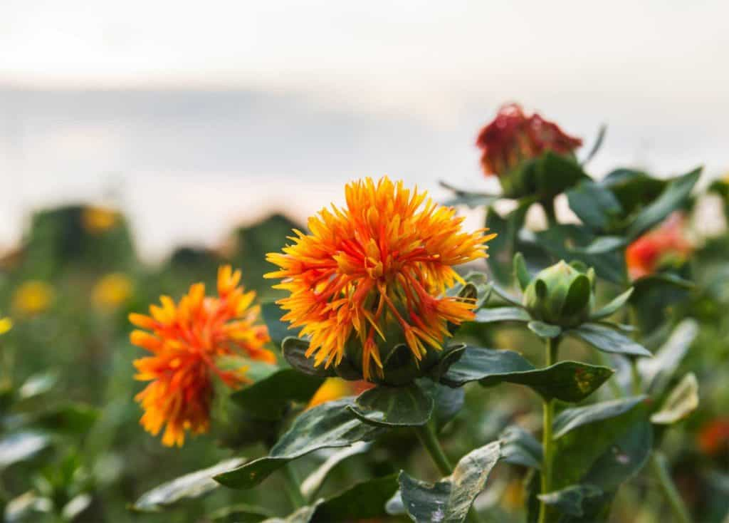 safflower oil comes from these special flowers.